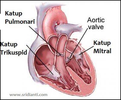 Fungsi utama jantung manusia  Sridianticom