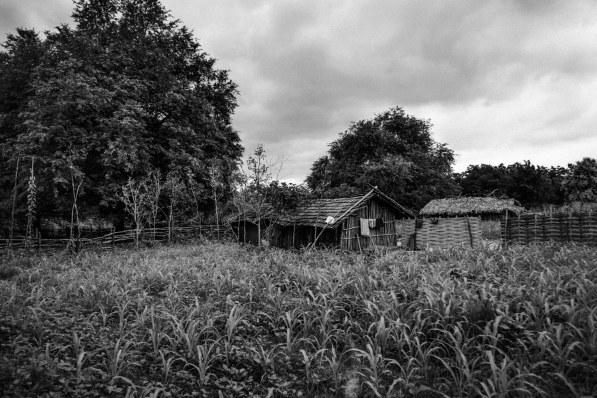 A maize farm abutting a house in a Muria settlement at Balimera in Telangana's Khammam district.