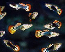 Ornamental Fish Industry in Sri Lanka|Freshwater Aquarium ...
