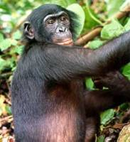 Scimmia Bonobo, Wikipedia