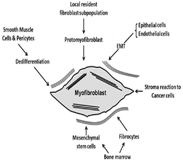 Myofibroblasts: Functions, evolution, origins, and the