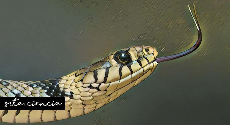 La lengua bífida de las serpientes y sus métodos de ataque