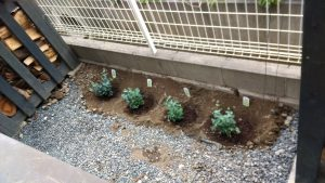 ユーカリを植えてみました