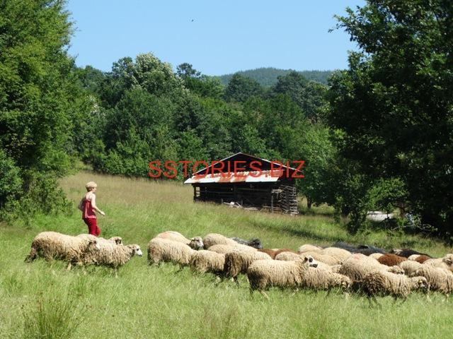Маргарита Тодорова, управител на Агрокомплекс Рашково със стадото от местна западна старопланинска овца. Във фермата е направен затворен цикъл на производство. Вече е регистрирана по наредбата за директни доставки, произвеждат сирене, и продават сурово овче мляко на местния пазар.