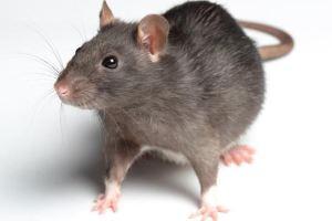 باريس تدق طبول الحرب على الفئران