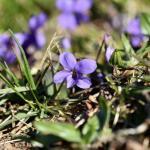 Violette des coteaux