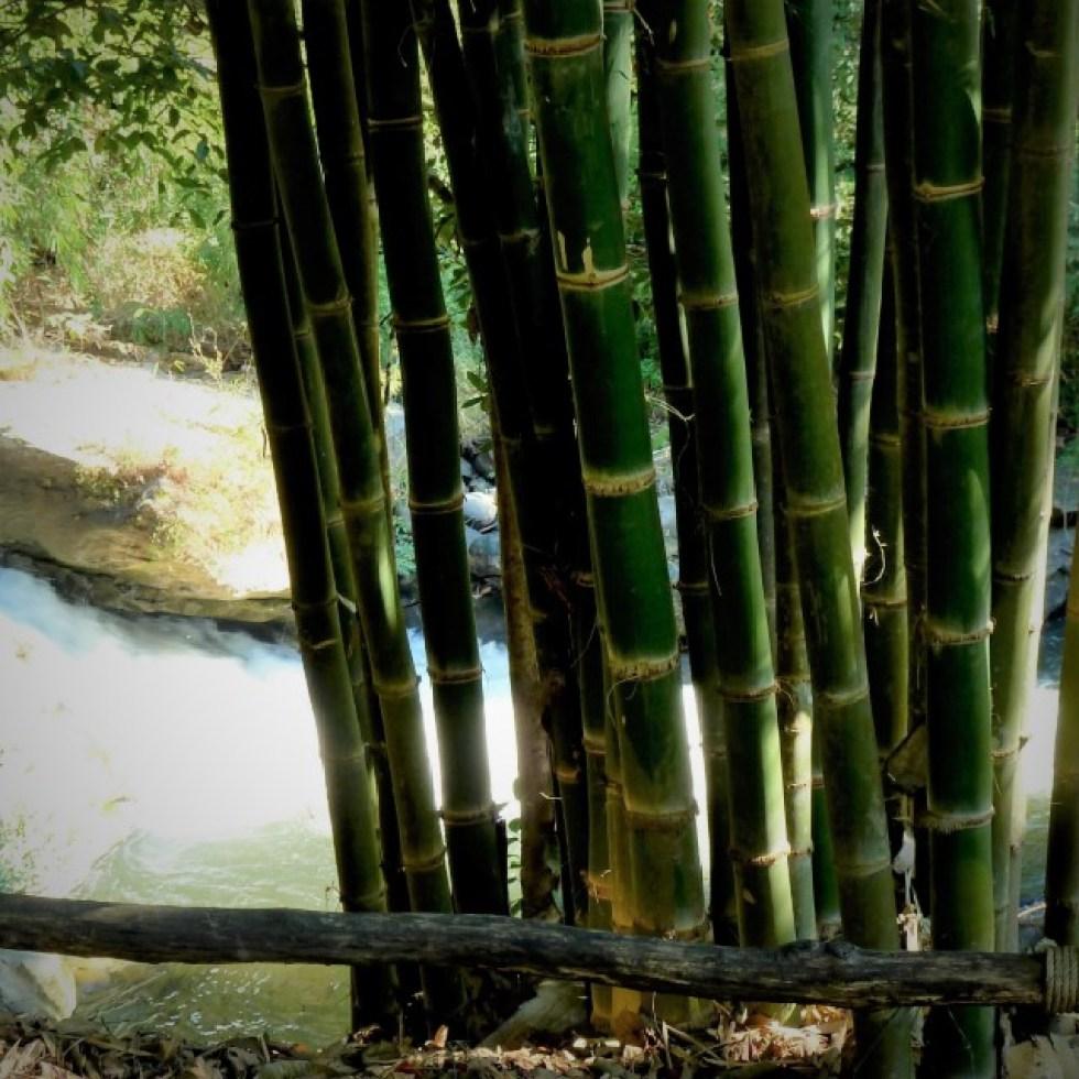 bamboe bij de rivier