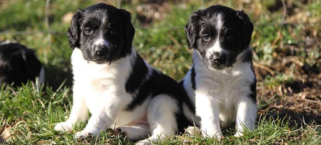 Gretta pups