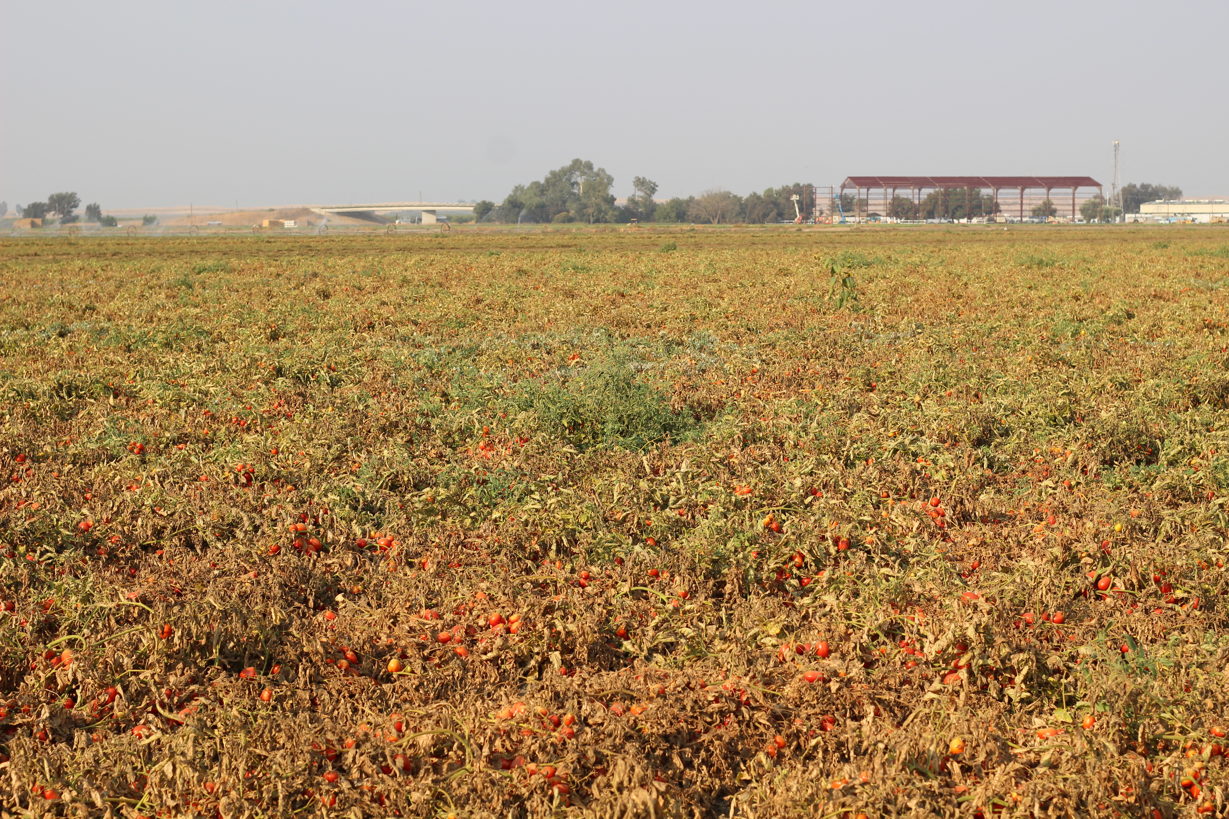 Muller Ranch Tomato Field | Stacey Mattinson Nutrition