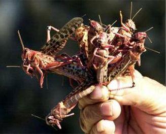 LocustsEgypt
