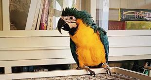 Feuerwehr kann Papagei Camilla wieder mit Charles vereinen