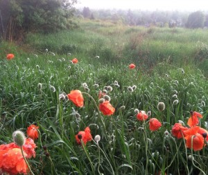 Rainy Downtown Spokane over a field of poppies