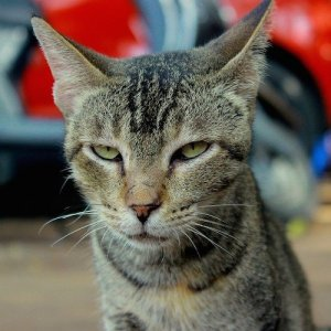 A cat wearing an unamused and irritated expression.