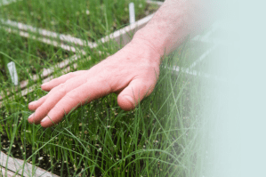 A human hand hovers gently over a farm box of long growing grass.