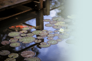 A mirror-like pond by a wooden dock with lily pads sitting on the surface.