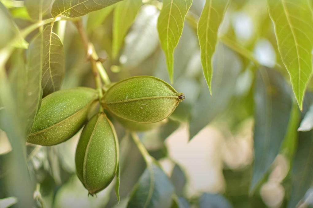 wichita pecan tree
