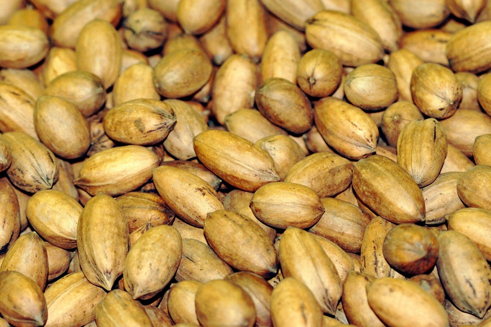 Natural pecans in the shell