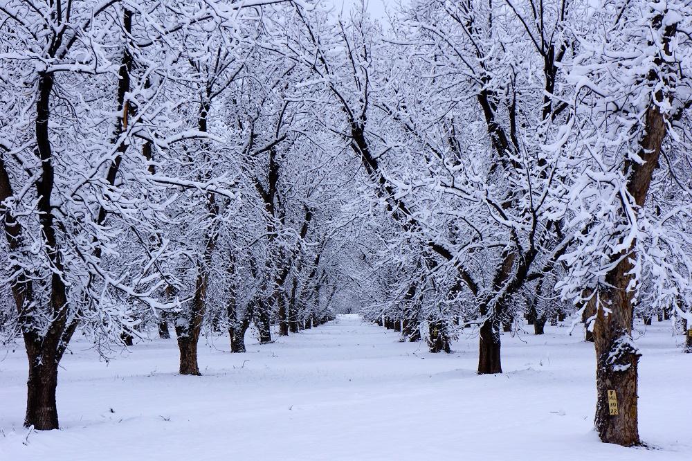 Grove of a pecan grower in winter