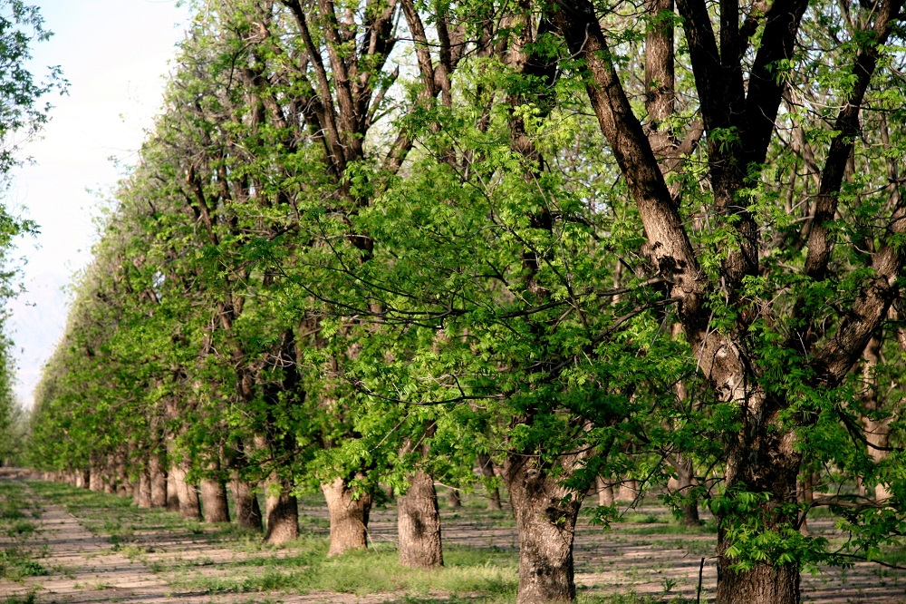 Trees of a pecan grower