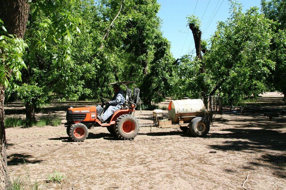 Pecan farmer fertilizing the pecan trees