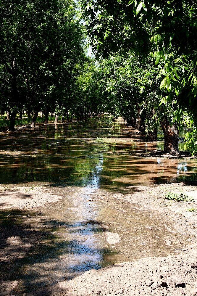 Irrigation of pecan trees by pecan grower