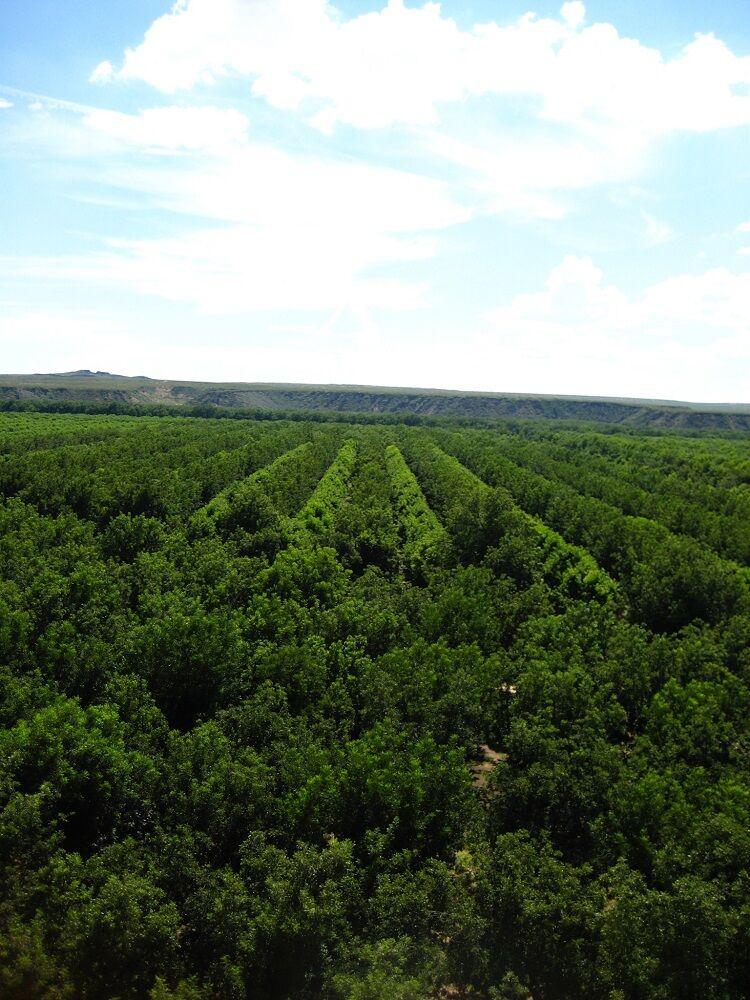 Pecan trees at a New Mexican pecan company