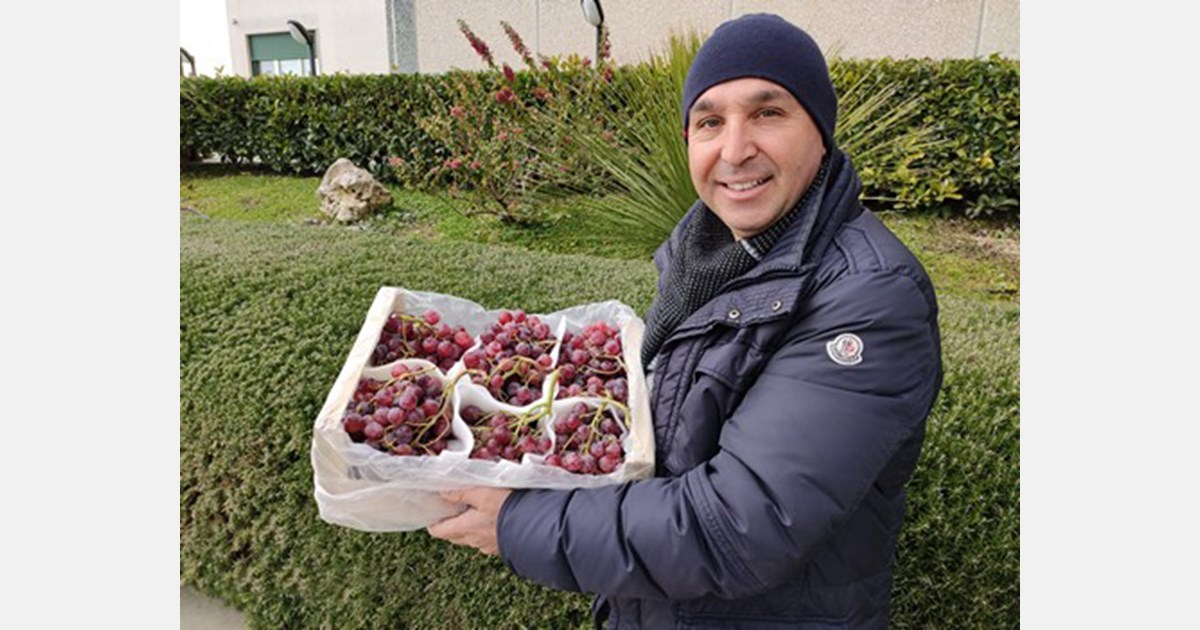 Crimson and Apulia table grape campaigns about to come to an end in Sicily
