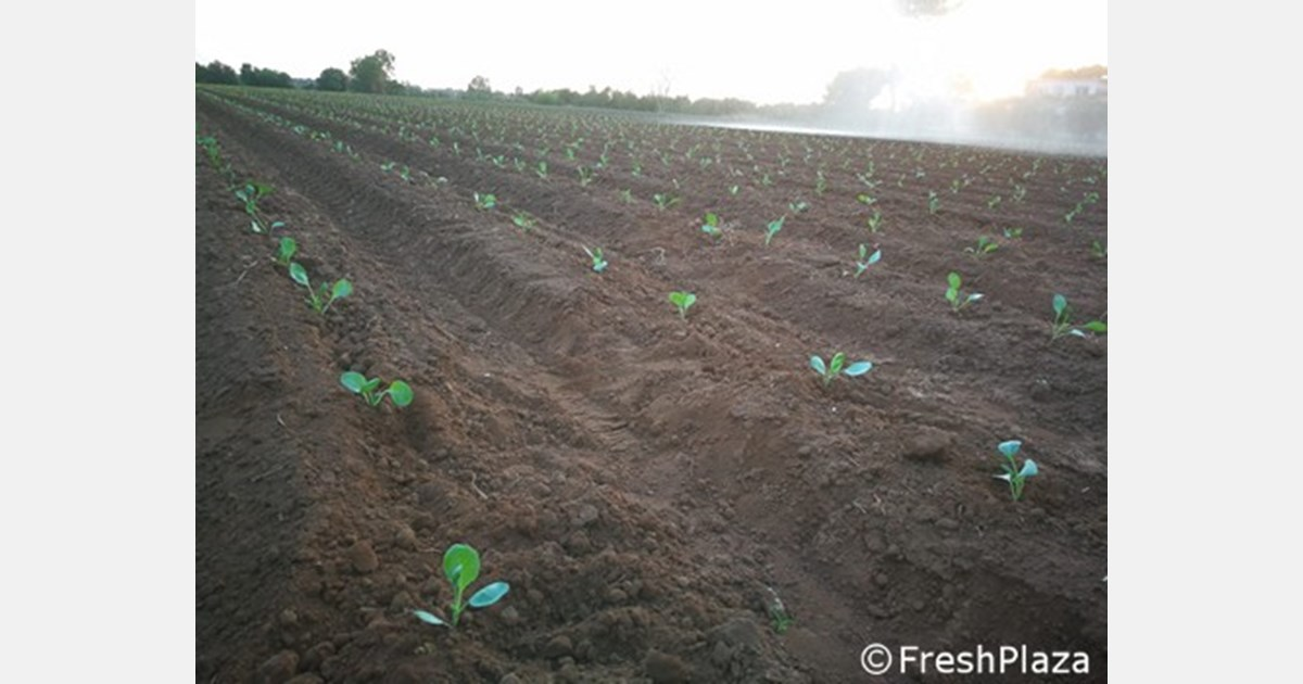 Winter vegetable transplants have started in southern Italy