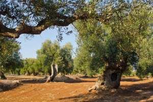 E.U. Approves PGI for Apulian Extra Virgin Olive Oil