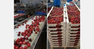 Apulian cherries sales are on hold, but production prices are sky-high