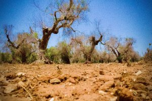Glimmer of hope as Italy battles 'olive tree leprosy'