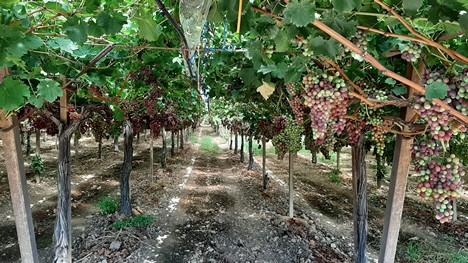 Grapes from Puglia destined for European as well as Arab countries -