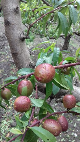 floods, hail and bad weather affect fruits and vegetables -