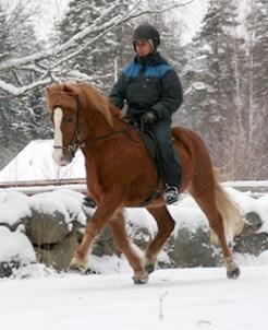 """Gladur från Sundvik f. 2006. 5-gångare med otränad pass. Fux med bläs e. Mökkur frá Varmalaek u. Glóblesa frá Gygjarhóli. Gladur är en stor och vacker häst. Mycket """"social"""" och välutbildad."""