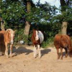Ponys Stella Pride en Clyde op 1 rij