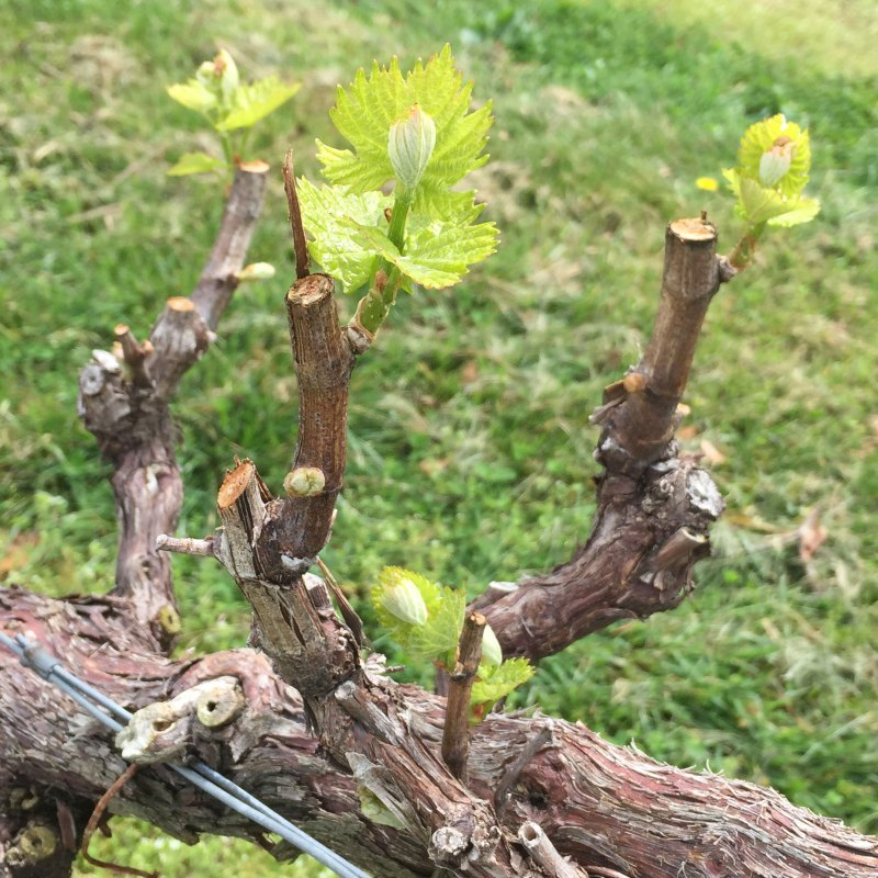 Bud Break 2016 – Now the worrying starts