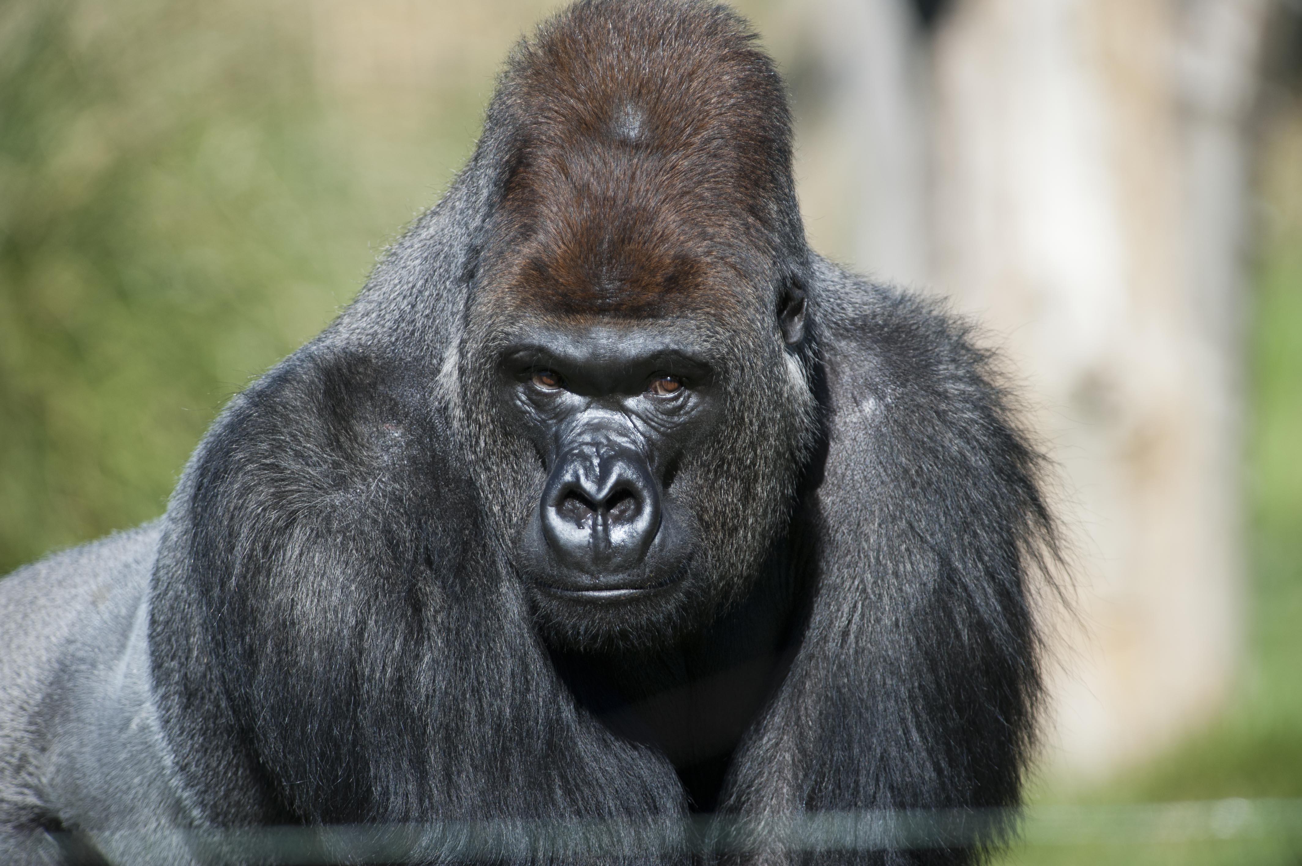 Going ape for the girls gorilla Kumbuka arrives in