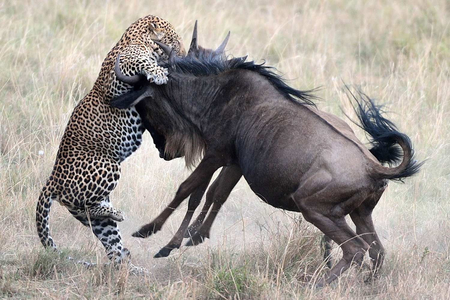 Photos show dramatic fight back by wildebeests as a