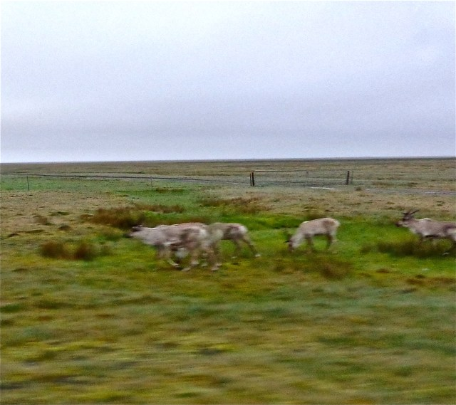 A very blurry shot of the reindeer as we sped past.