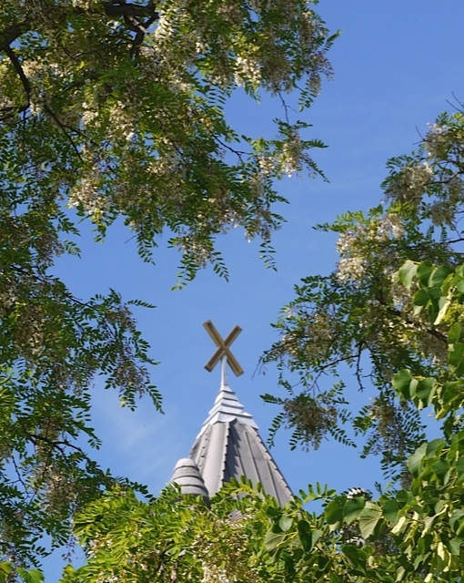 The spring locust tree blossoms around the cross of the steeple.