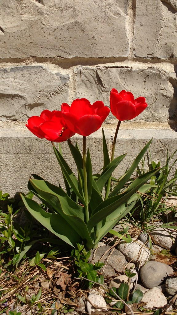 Tulips along the limestone wall of the St. Andrew's Manse.