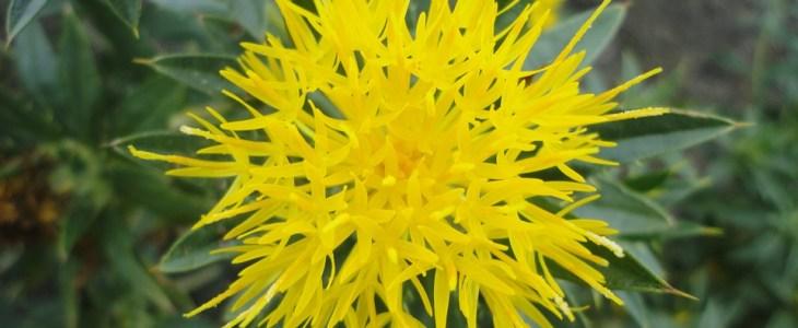 safflower plant