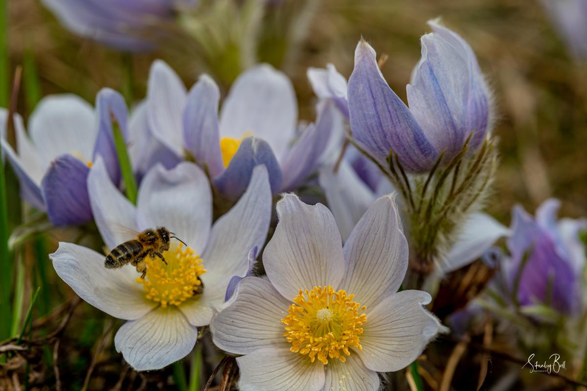 Wild Crocus Flowers 1
