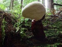 stanley park fungi ganoderma