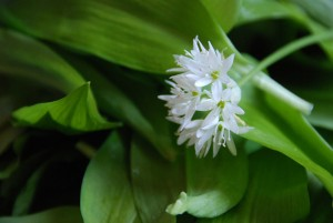 The edible wild garlic flower