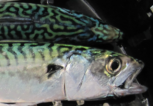 mackerel_crop