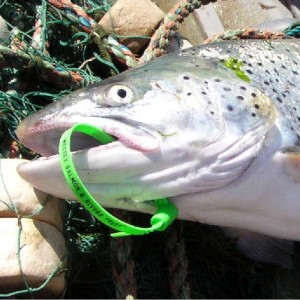 sea_trout