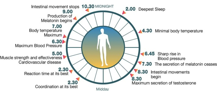 Image result for cycle circadian