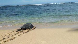 COURTESY DLNR VIA NOAA                                 Turtle 1036 heads for the ocean on the North Shore of Oahu.