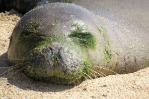 COURTESY HAWAII MARINE ANIMAL RESPONSE                                 RO28, also known as Pohaku, is seen sleeping on a beach, prior to molting.